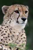 Cheetah vild katt — Stockfoto