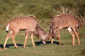 Kudu Antelope Battle — Stock Photo
