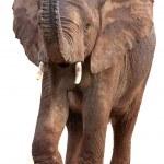 African Elephant Isolated — Stock Photo