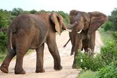 African Elephant Aggression — Stock Photo