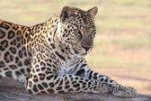 Male Leopard — Stock Photo