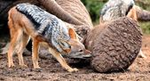 Black Backed Jackal at Elephant Carcass — Stock Photo