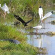 Everglade birds in the pond — Stock Photo