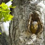 松鼠在树中 — 图库照片