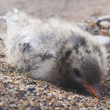 Arctic chick — Stock Photo