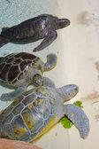 Sea turtles — Stock Photo