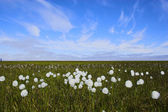 Arctic flowers — Stock Photo