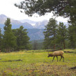 Wild Elk — Stock Photo