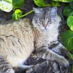 Hemingway cat — Stock Photo