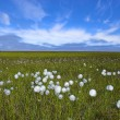 Arctic flowers — Stock Photo #14088246