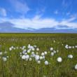Arctic flowers — Stock Photo #14088246