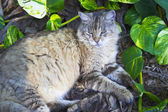 Gato de hemingway — Foto de Stock