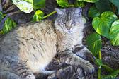 ヘミングウェイの猫 — ストック写真
