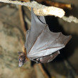 Stock Photo: Bat