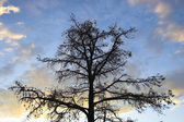 Tree silhouette — Stock Photo