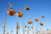 Campo de girasol — Foto de Stock