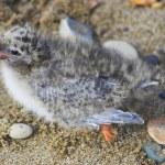 Arctic chick — Stock Photo