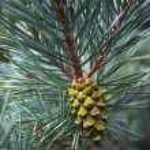 Pine cone — Stock Photo #14827777