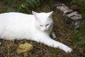 хемингуэй кошка — Стоковое фото
