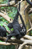 Monkey with a baby — ストック写真