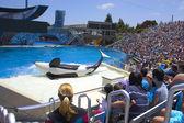 Orca show — Stock Photo