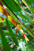 Heliconia flower — Stock Photo