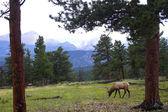 Wild Elk — Stock Photo