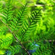 Stock Photo: Evergreen plant