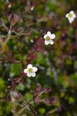 Arctic bloom — Stock Photo