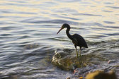Heron fishing — Stock Photo