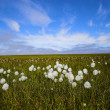 Arctic flowers — Stock Photo #17642753
