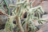 Cholla — Stock Photo