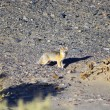 Desert fox in Death Valley — Stock Photo #18714779