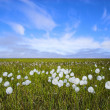 Arctic flowers — Stock Photo