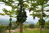 Papaya tree — Stockfoto