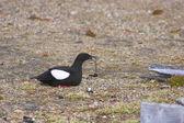 Arktiska fågel med fisk — Stockfoto