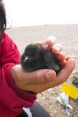 Arctic baby birds study — Stock Photo