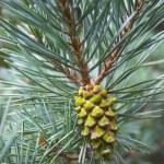 Pine cone — Stock Photo #2273557