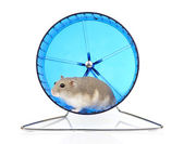 Dwarf Hamster in Exercise Wheel — Stock Photo