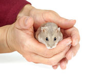 Dwarf Hamster — Stock Photo