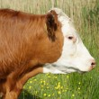 Head of Brown and White Cow — Stock Photo