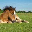Cute Brown Pony Foal Laying on Grass — Stock Photo