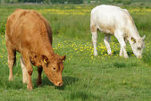 Brwon and White Cows in Green Field — Stock Photo