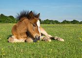 Potro lindo pony marrón tirado en el pasto — Foto de Stock