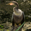 Female Anhinga Bird Sat on Wooden Stump — Stock Photo #26800189