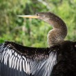 Female Anhinga Bird Drying its Outstretched Wings — Stock Photo