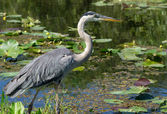 Great Blue Heron (Ardea herodias) Wading at Waters Edge — Stock Photo