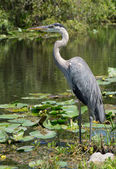 Great Blue Heron (Ardea herodias) Standing at Waters Edge — Stock Photo