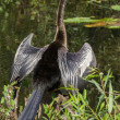 Stock Photo: Great Blue Heron (Ardeherodias) Wading at Waters Edge
