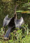 Great Blue Heron (Ardea herodias) Wading at Waters Edge — Stock Photo